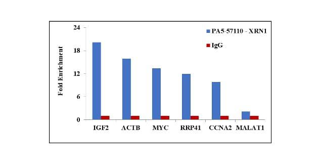 XRN1 Antibody in RNA Immunoprecipitation (RIP)