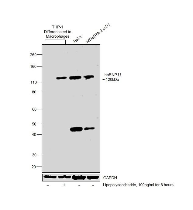 hnRNP U Antibody in Cell treatment