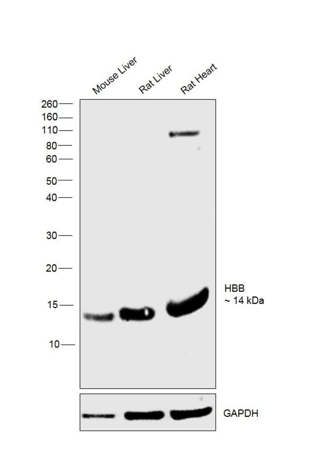 HBB Antibody in Western Blot (WB)