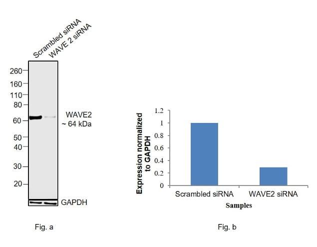 WAVE2 Antibody in KnockDown