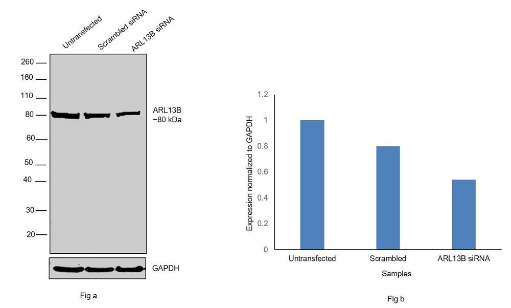 ARL13B Antibody in Knockdown