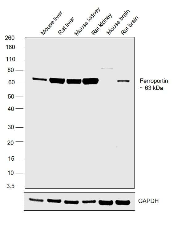 Ferroportin Antibody in Western Blot (WB)