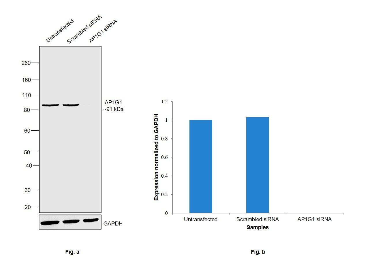 gamma Adaptin Antibody in Knockdown