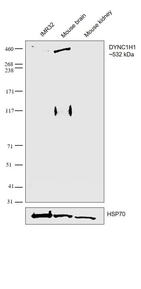 DYNC1H1 Antibody in Relative expression