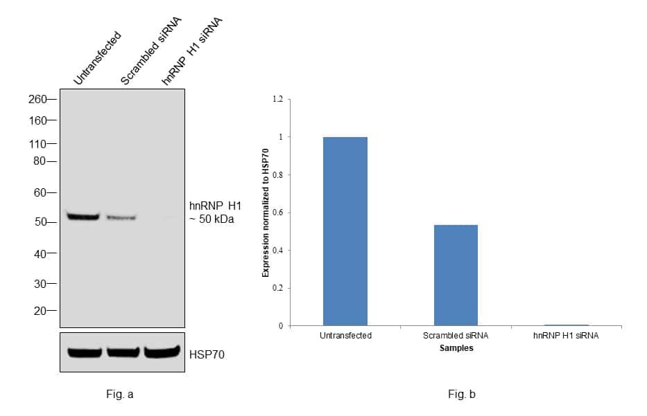 hnRNP H1 Antibody in Knockdown