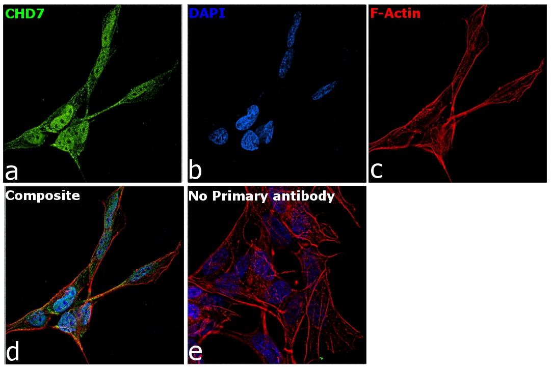 CHD7 Antibody in Immunofluorescence (IF)