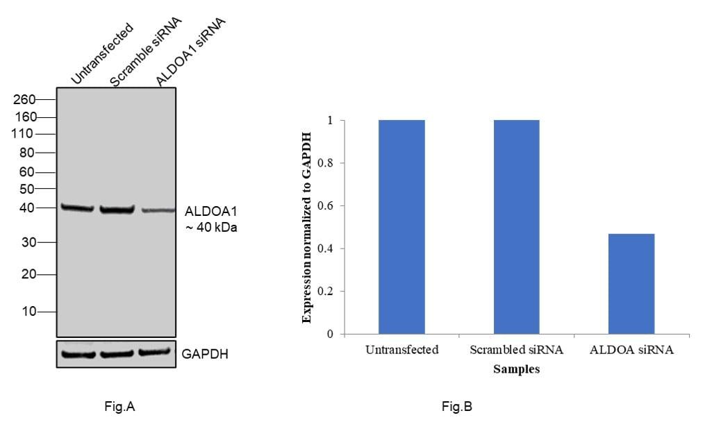 Aldolase A Antibody in Western Blot (WB)