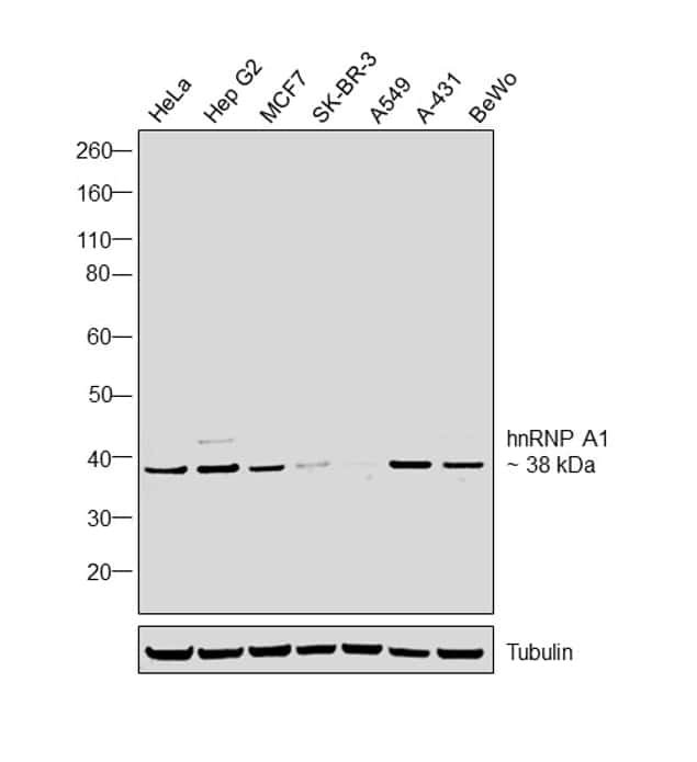 hnRNP A1 Antibody in Western Blot (WB)