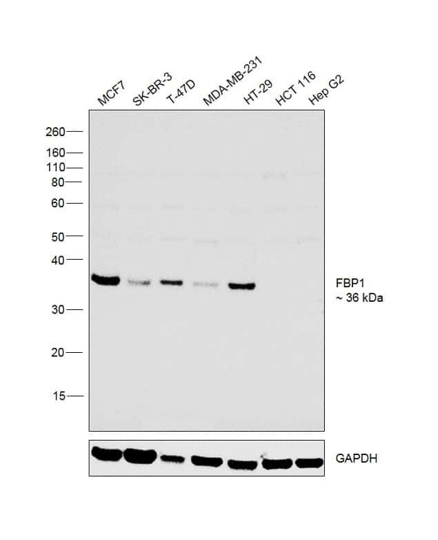 FBP1 Antibody in Relative expression