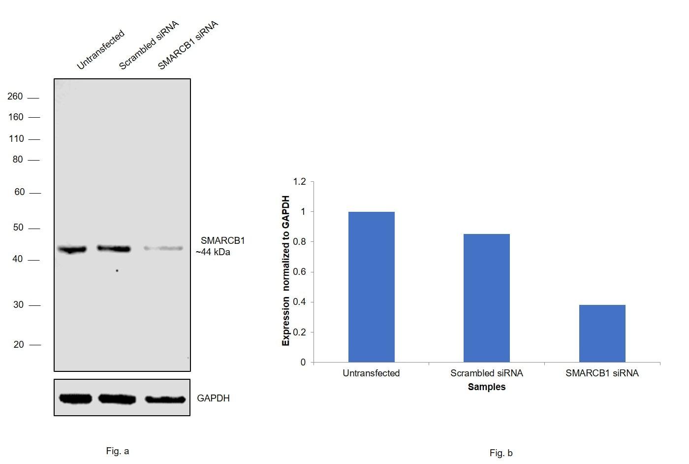 SMARCB1 Antibody in Western Blot (WB)