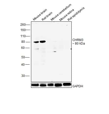 CHRM3 Antibody in Relative expression