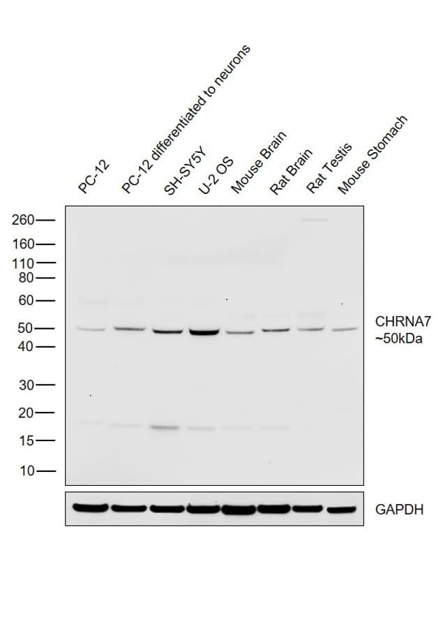 CHRNA7 (extracellular) Antibody in Western Blot (WB)