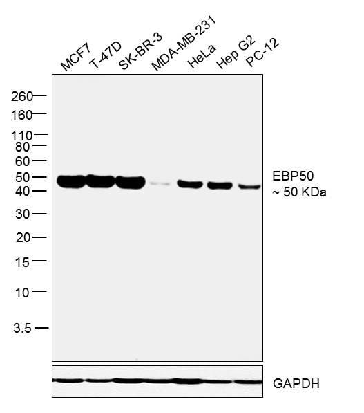 EBP50 Antibody in Relative expression