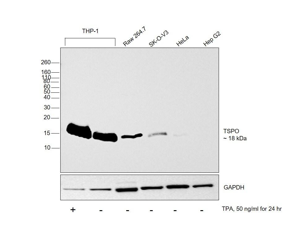 TSPO Antibody in Cell treatment