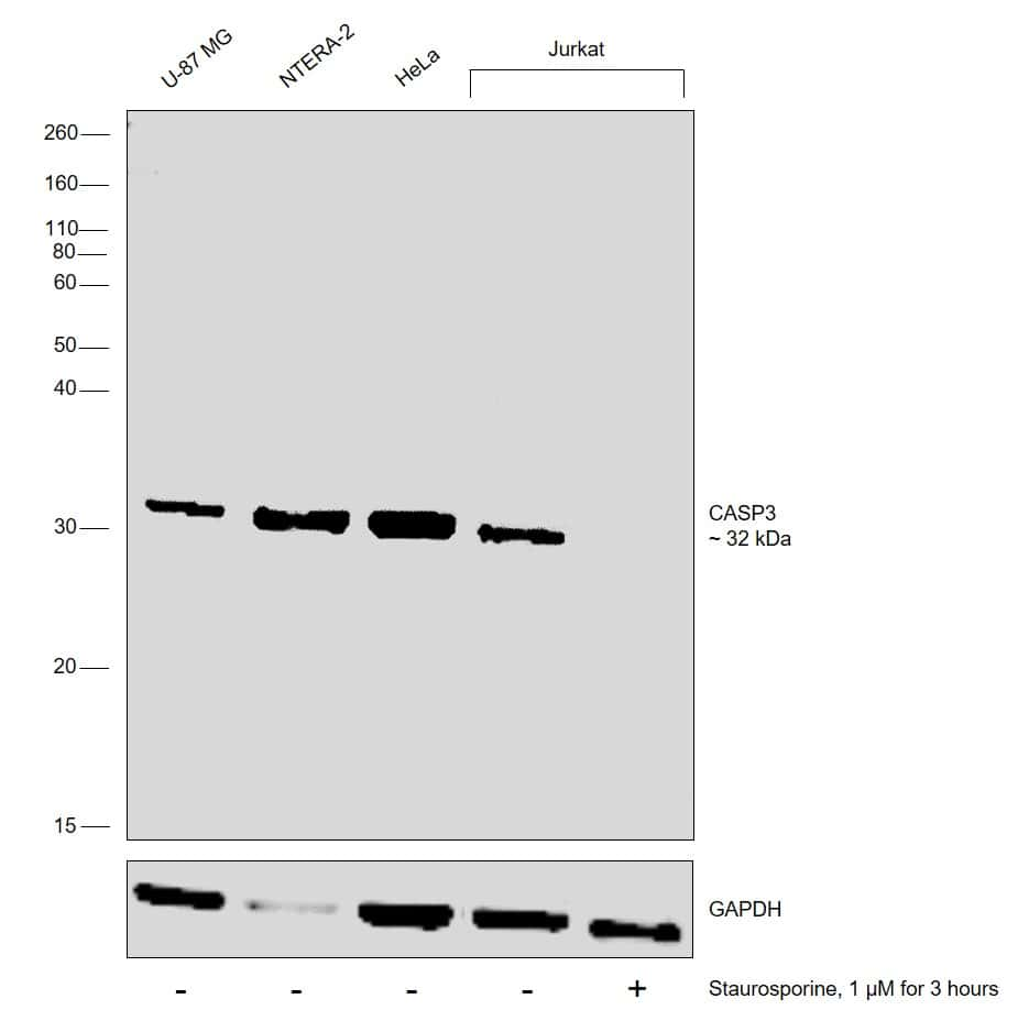 Caspase 3 Antibody in Cell treatment