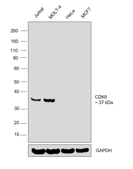 CDK6 Antibody in Relative expression