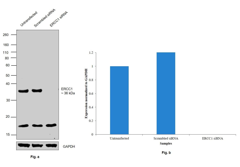 ERCC1 Antibody in Western Blot (WB)