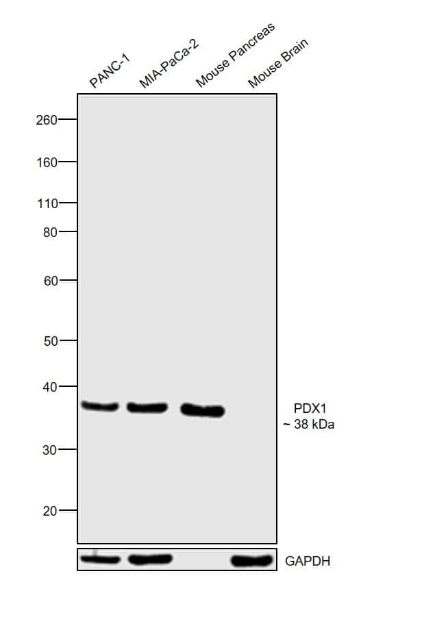 PDX1 Antibody in Relative expression