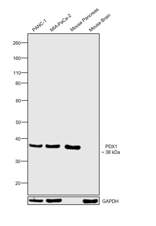 PDX1 Antibody in Western Blot (WB)