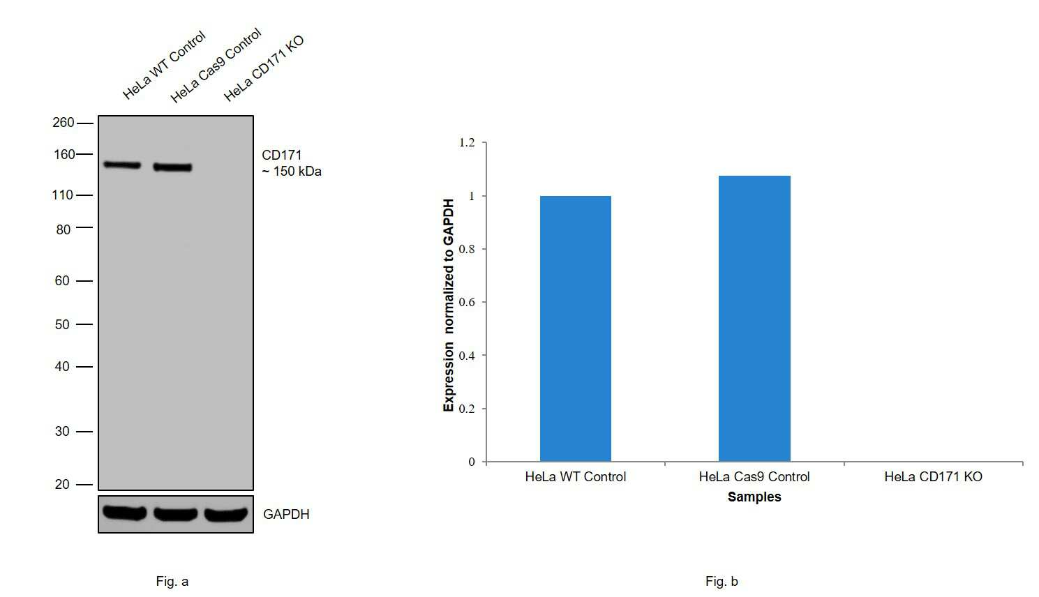 CD171 (L1CAM) Antibody in Western Blot (WB)