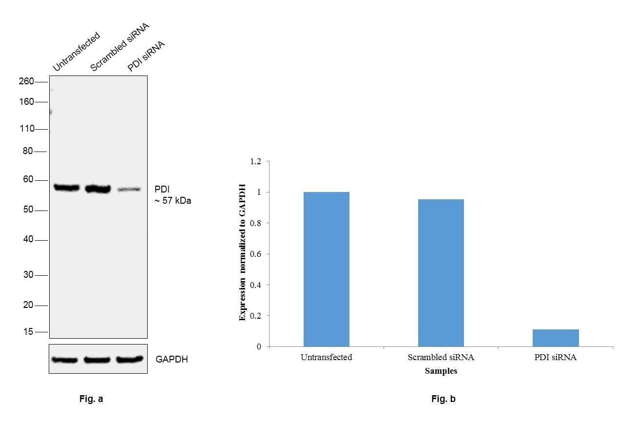 PDI Antibody in Western Blot (WB)
