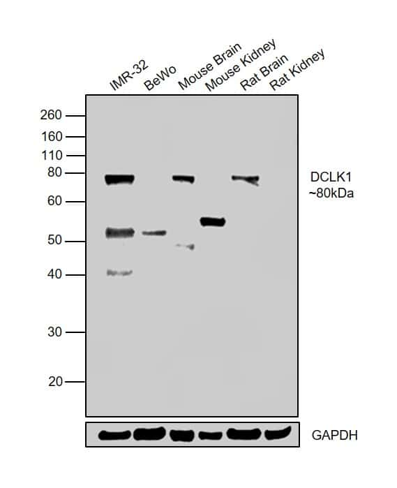DCLK1 Antibody in Relative expression