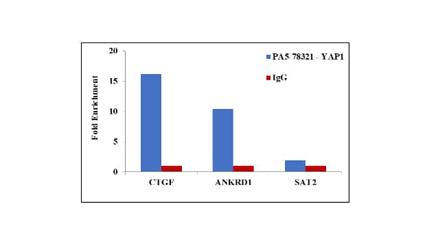 YAP1 Antibody in ChIP assay (ChIP)