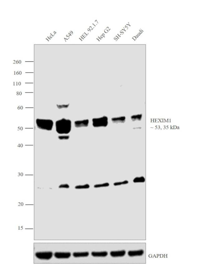 HEXIM1 Antibody in Western Blot (WB)