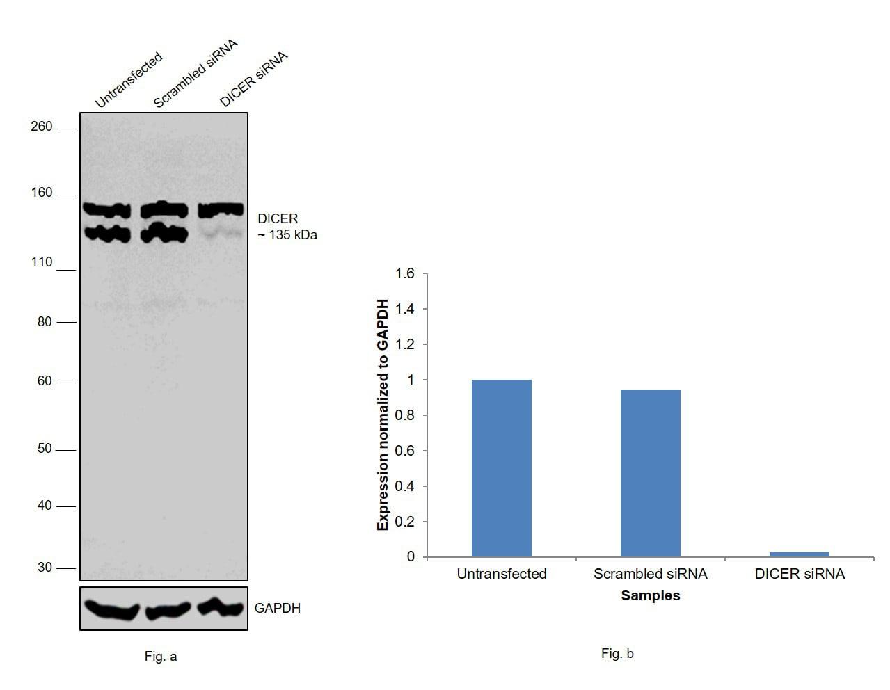 Dicer Antibody in Western Blot (WB)