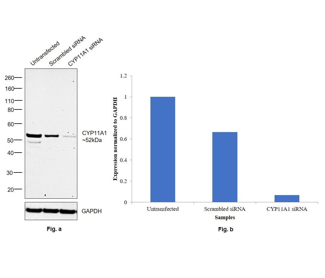 CYP11A1 Antibody in Western Blot (WB)