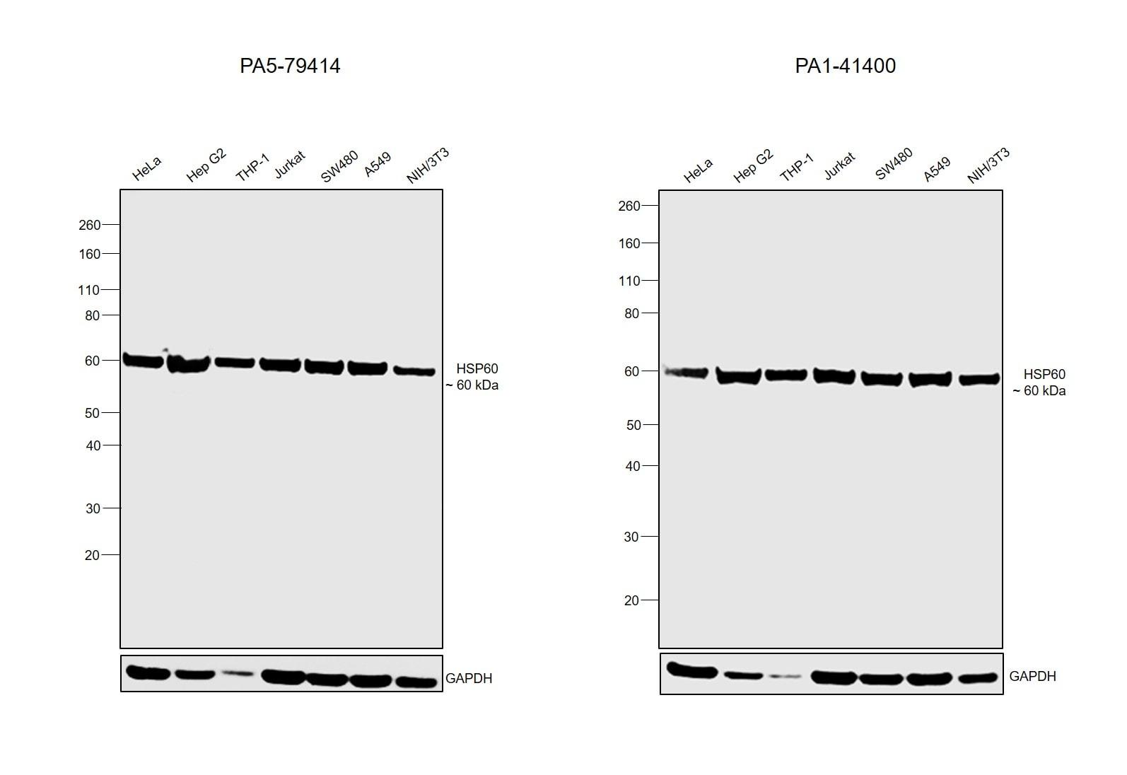 HSP60 Antibody in Inhibition Assays