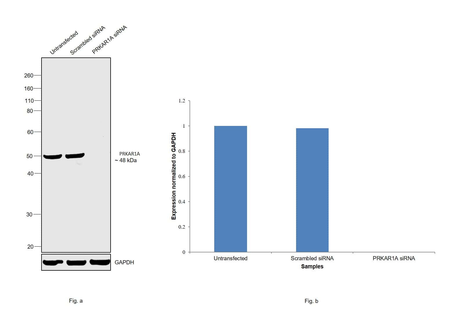 PRKAR1A Antibody in Knockdown