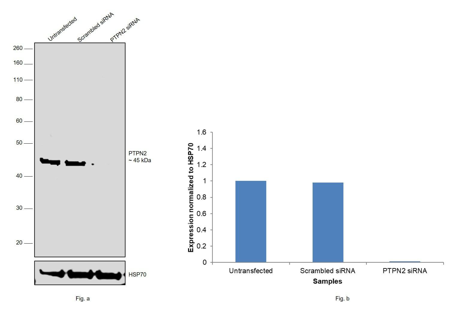 PTPN2 Antibody in Knockdown
