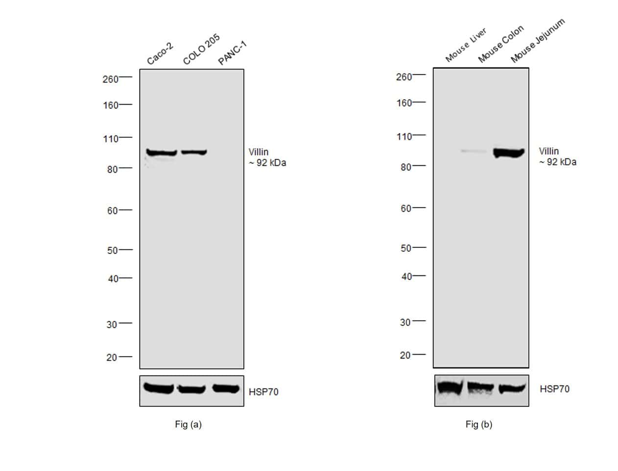 Villin Antibody in Relative expression