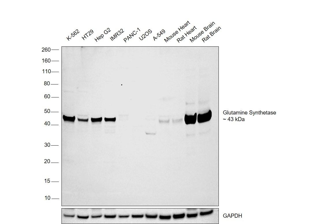 Glutamine Synthetase Antibody in Relative expression