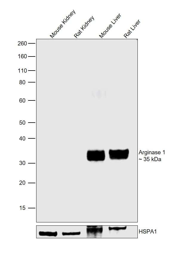 Arginase 1 Antibody in Relative expression