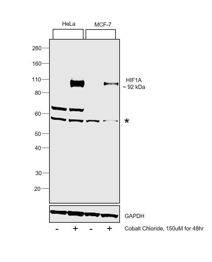 HIF1A Antibody in Western Blot (WB)