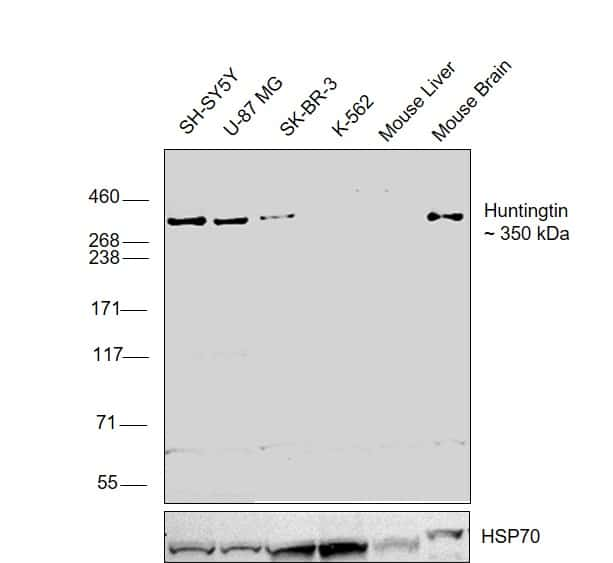 Huntingtin Antibody in Relative expression