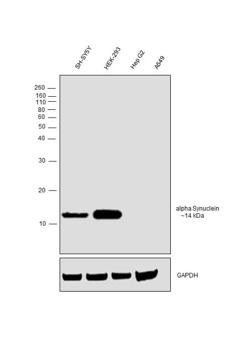 alpha Synuclein Antibody in Relative expression