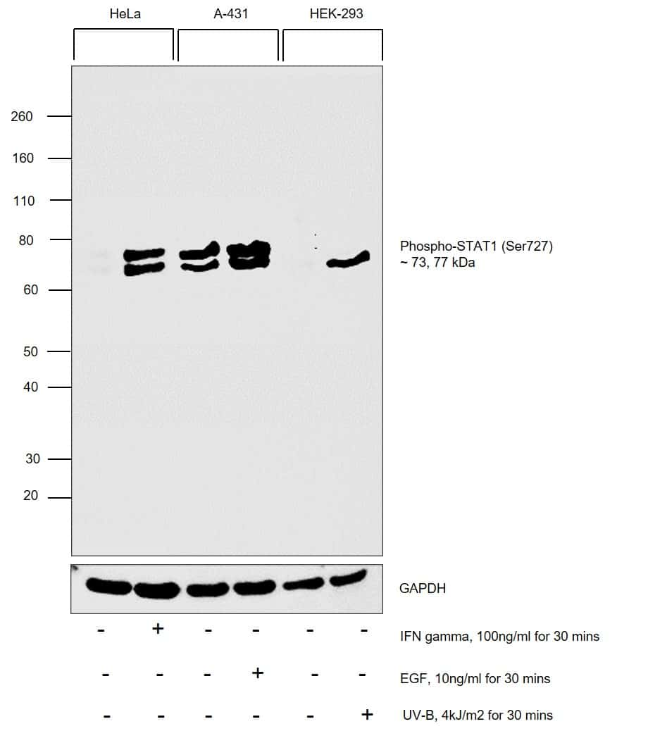 Phospho-STAT1 (Ser727) Antibody in Cell treatment
