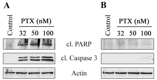 PARP Antibody