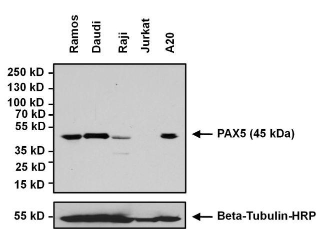 Pax5 Antibody