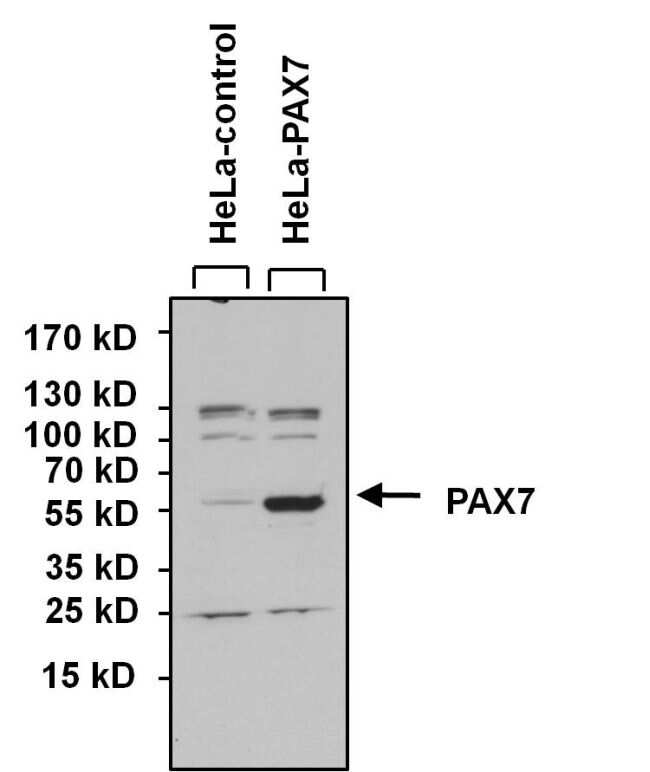 PAX7 Antibody in Western Blot (WB)
