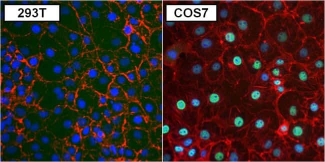PAX8 Antibody in Immunofluorescence (IF)