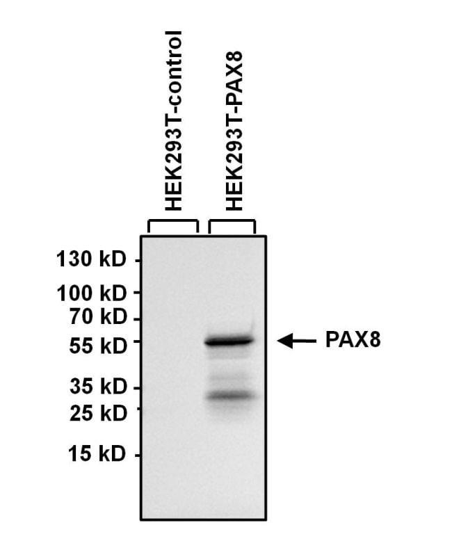 PAX8 Antibody in Western Blot (WB)