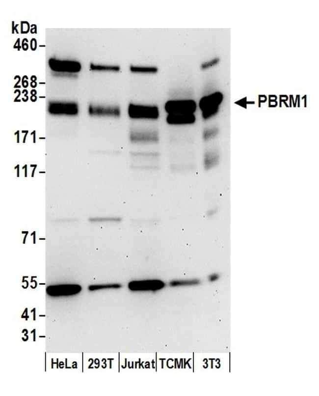 PBRM1 Antibody in Western Blot (WB)