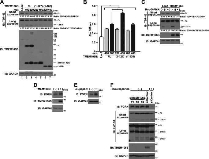 PCDGF Antibody