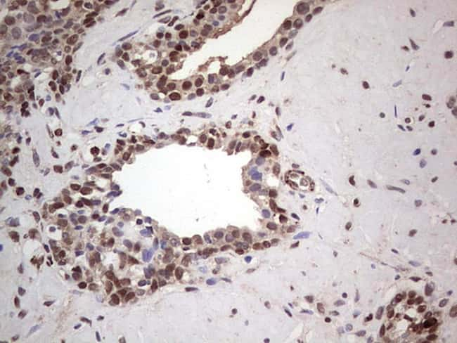 PCNA Antibody in Immunohistochemistry (Paraffin) (IHC (P))