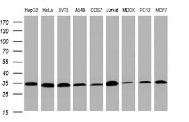 PCNA Antibody in Western Blot (WB)