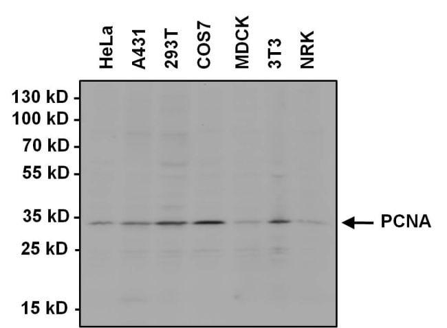 Pcna Antibody Monoclonal Pc10